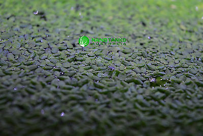 Duckweed - Great for fish tanks and small ponds, Free Delivery