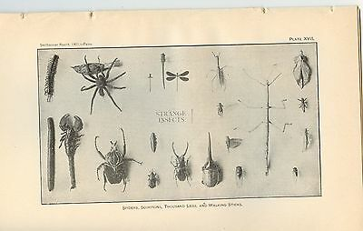 1901 Very Rare Antique Smithsonian Print ~ Insects and Butterfly  ~
