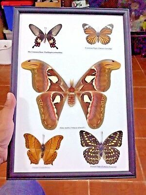 Real 5 Beautiful Butterfly Wood Frame Display Taxidermy Mounted Gift Collectibl