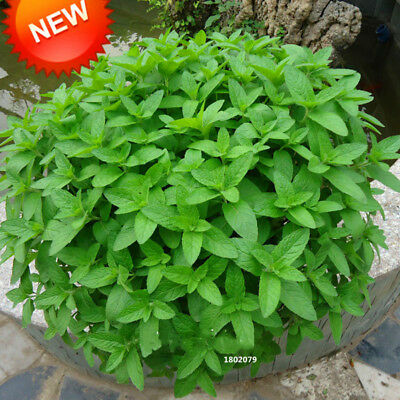 New Fresh Seeds Mint Seed Superior For Herbal Tea Has Radioprotective Effects