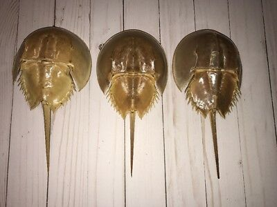 Set Of 3 Atlantic Horseshoe Crab Shell Molt With Legs Limulidae Xiphosurida 9 In