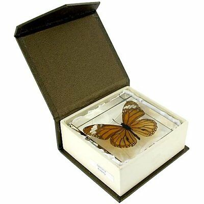 "Real Butterfly Paperweight 3"" x 3"" x 1"" TIGER BUTTERFLY"