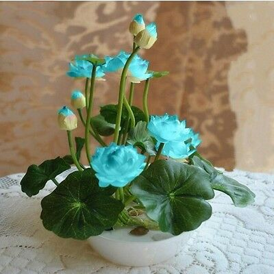 Bowl Lotus Seeds  Flower Seeds Water Lily Seeds Lotus  Aquatic Plants Bowl Lotus