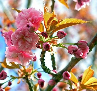 Japanese Flowering Cherry tree 'KANZAN'-170 cm tall grafted seedling-bare roots