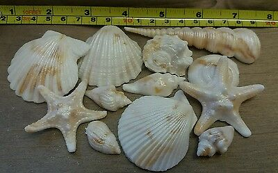 12 Edible Sugar Icing Sea Shells Shimmer Beach Cupcake Toppers Cake Decorations