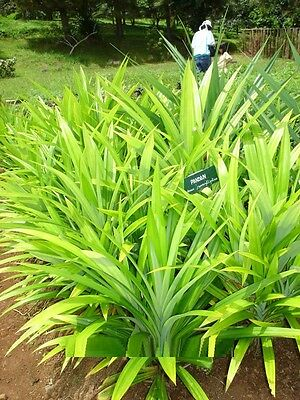 (Seeds) 50 Pcs Fresh Potted Annual Flower Seeds Pandan Pandanus amaryllifol