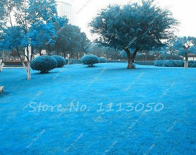 500Pcs Rare Blue Grass Seed, Lawn Seed,Outdoor Plant Germination Rate of 100%