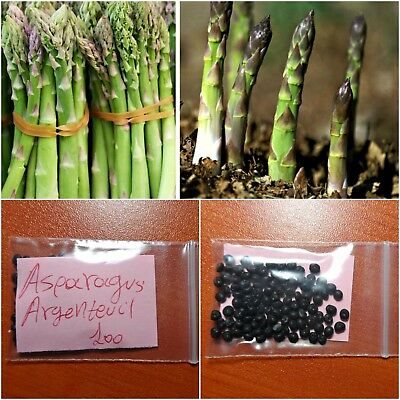 Asparagus ''Officinalis Argenteuil'' ~100 Top Quality Seeds - Productive - Sweet