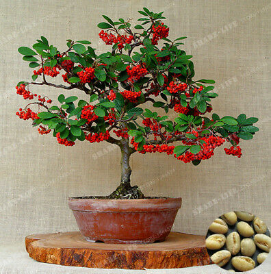 Coffee Beans Bonsai Seeds Green Food Organic Fruit Seeds Vegetables Coffee Beans