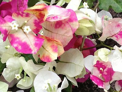 Bougainvillea Chitra Pink and White Tropical Gardens