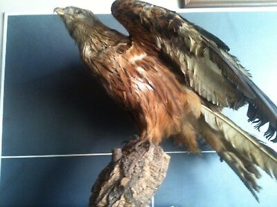 ancienne vintage  taxidermie milan royal