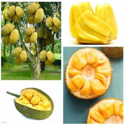 100 Oraganic Fresh JackFruit Seeds Tropical Worlds Largest Tropical Fruit seed