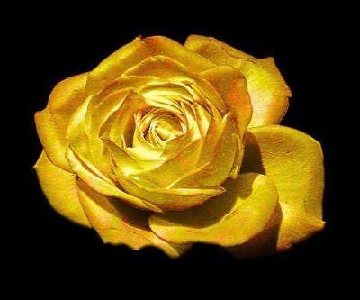 Goldene Rose Rosensamen Golden Rose 50 Samen