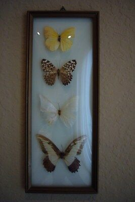 4 Real Butterflies Framed With Dome Glass