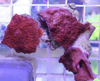 bright orange plating plate montipora SPS Hard coral WYSIWYG LARGE frag
