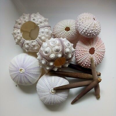 Assorted pack sea urchins. Beach home coastal decor. Collectors. craft art