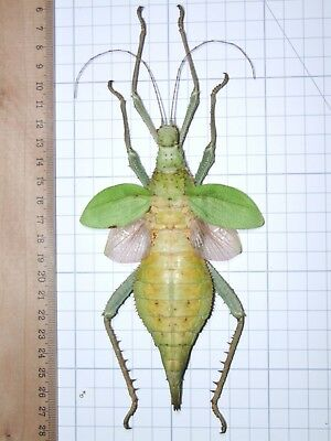Heteropteryx Dilatata 140mm Monster Female Mounted Phasmatidae South East Asia