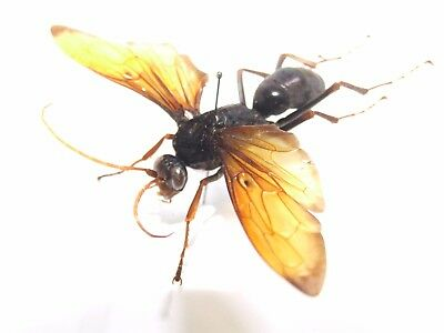 Pepsis Specie 91mm Wingspan Tarantula Hawk Wasp Huge Spider Hunter Hymenoptera