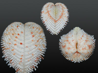 Seashell Freneixicardia victor Super big! Amazing shell! 51.8 mm