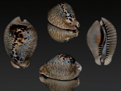 Seashell Cowrie Cypraea mus tristensis MONSTER! My BEST one! 66.7 mm