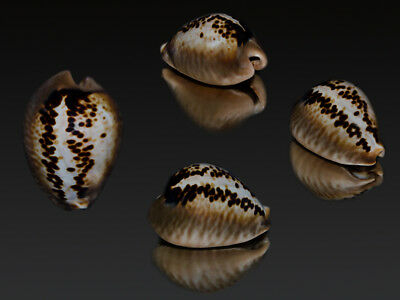 Seashell Cowrie Cypraea mus SPECIAL COLOR LEOPARD Very contrast pattern. 38.2 mm