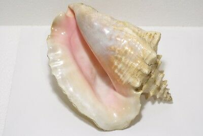 RARE Very large Pacific shell, more than 20 cm, 1.6 kg!!!