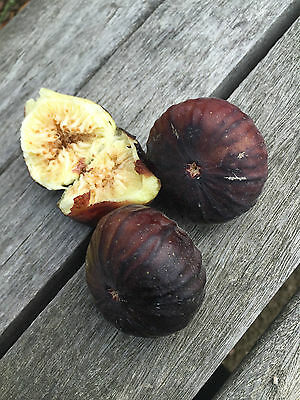 3 x Hartenberg Cuttings exceptional  Rare Fig Tree dark skin white flesh