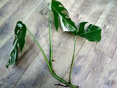 Rare 3 leaf Monstera deliciosa variegata. Variegated Cheese Plant cutting