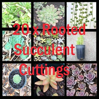 Rooted Succulent Pack 20 x fully rooted succulent cuttings succulent plants