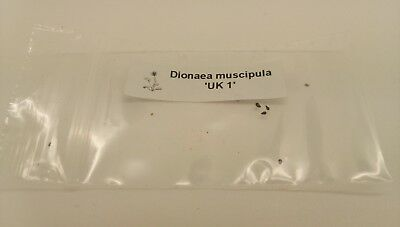 Dionaea muscipula Seed 'UK 1' x self'