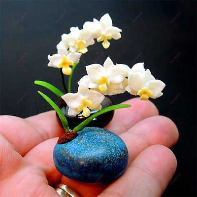 Mini Bonsai Orchid Seeds Mini Orchid Flower Beautiful Garden Flower Seeds Cute
