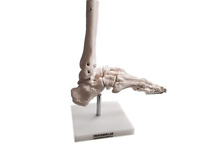 Fristaden Lab Life-Sized Flexible Foot Skeleton Model with Base