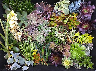 Succulent Cuttings x 30 All Different Sempervivum/Aeonium/Sedum/Crassula/Senecio