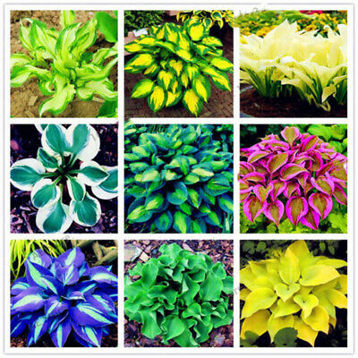 Hosta Plantaginea Seeds Fragrant Plantain Flower Fire And Ice Shade Mixed 200Pcs
