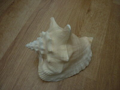 Large Pink Conch Sea Shell 20cm long x 12cm tall