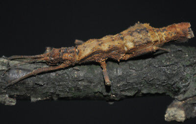 Dares philippinensis Stick Insect 20 eggs