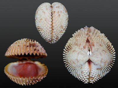 Seashell Trachycardium isocardia Very colorful! RED form! 62.1 mm