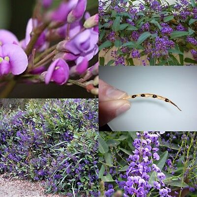 """Happy Wanderer"" Hardenbergia Violacea -100 seeds NOT AVAILABLE TO WA or TAS"