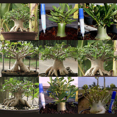 120Pcs/Bag Adenium Arabicum Dsssesert Rose Seeds Mixed 9 Types Seeds Garden