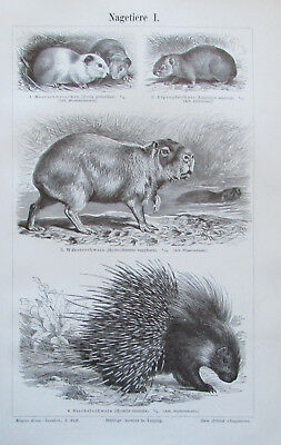 1897 Nagetiere I-IV Zoologie - 4 alte Drucke Lithografie old print