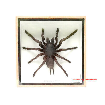 Real Black Tarantula Spider Insect Taxidermy Display Framed Wood Mounted Box
