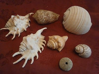 Collection of 6 Mixed Sea Shells & 1 small sea urchin - Largest Approx 6 inches