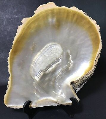 Large Old Oyster Shell Mother Of Pearl