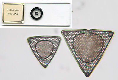 JD Möller Arranged Diatoms Microscope Slide - Triceratium favus