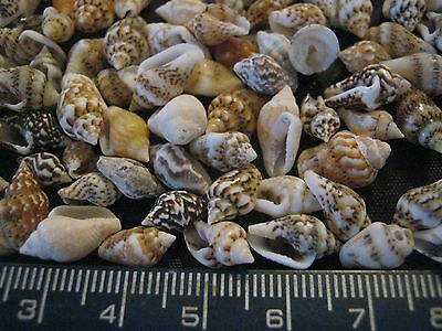 BULK 100 Mix Colour MINI Sea Shells for Jewellery Crafts approx 5 to 10 mm Long