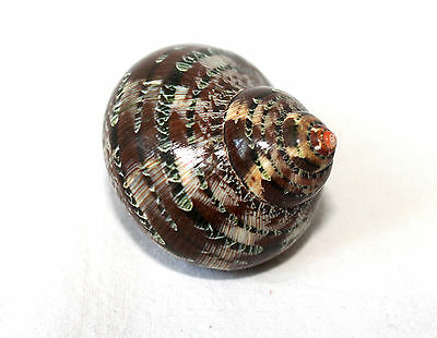TURBO PETHOLATUS approx. 5,5 -6cm - TAPESTRY TURBAN SEA SNAIL SEASHELL