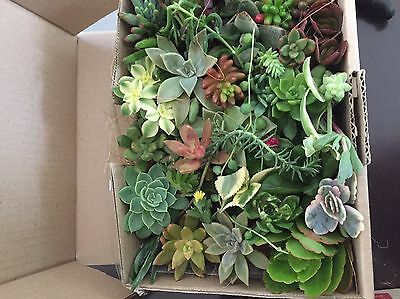 Succulent Cuttings  35 Mixed For 45$All FroM Different Plants FREE POST