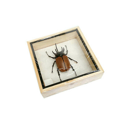 Real Male Five Horned Rhinoceros Beetle Eupatorus Insect Taxidermy Framed Box