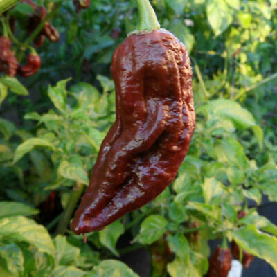 Bhut Jolokia Chocolate 10 Semi - Hot Ghost Pepper Viable Seeds