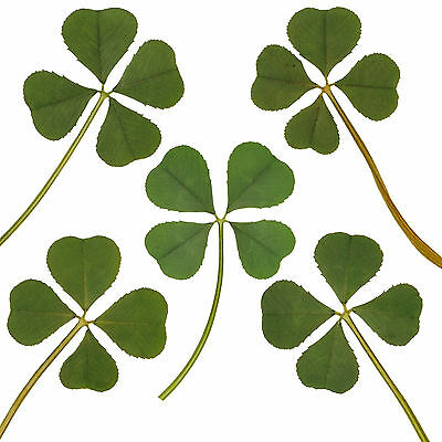 Lot of 5pc Real 4 Four Leaf Irish Clover Lucky Charm Amulet Fortune Gift Dried L